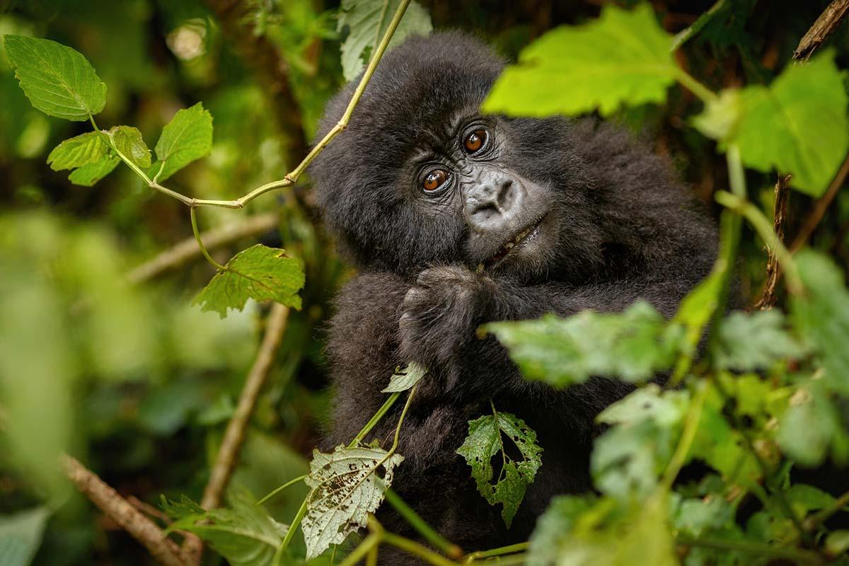 Wild Mountain Gorilla In The Nature Habitat